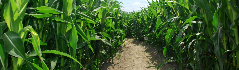 Unser Maislabyrinth